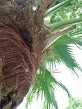 Palmetto ;Sabal palmetto. Sabal palmetto, also known as cabbage-palm, palmetto, cabbage palmetto, blue palmetto, Carolina palmetto, common palmetto, swamp royalty free stock photo