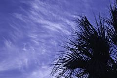 Sabal Silhouette. Sabal palm tree silhouetted against a dramatic blue sky Stock Image