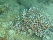 Saballa Polychaeta Lizenzfreie Stockfotos