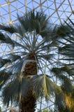 SabalPalmetto i drivhus Arkivfoton