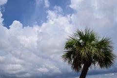 Sabalpalmetto, palmträd Arkivbilder