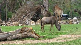 Sabana africana en el parque zoológico abierto de Khao Kheow tailandia almacen de metraje de vídeo