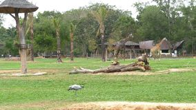 Sabana africana en el parque zoológico abierto de Khao Kheow tailandia almacen de video