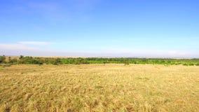 Sabana de la reserva nacional de Maasai Mara en África almacen de video