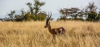 Sabana del africano de la gacela del ` s de Grant Foto de archivo libre de regalías