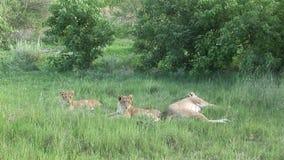 Sabana peligrosa Kenia de África del mamífero del león salvaje almacen de video