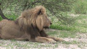 Sabana peligrosa Kenia de África del mamífero del león salvaje almacen de metraje de vídeo
