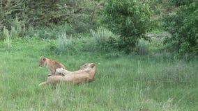 Sabana peligrosa Kenia de África del mamífero del león salvaje metrajes