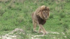 Sabana peligrosa salvaje Kenia de África del mamífero del león