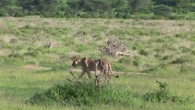 Sabana peligrosa salvaje Kenia de África del mamífero del león almacen de video