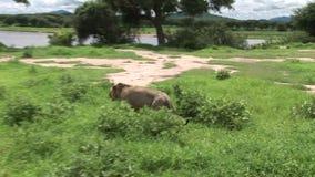 Sabana peligrosa salvaje Kenia de África del mamífero del león metrajes