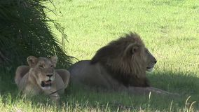 Sabana peligrosa salvaje Kenia de África del mamífero del león almacen de metraje de vídeo