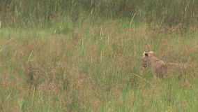 Sabana peligrosa salvaje Kenia de África del mamífero del león joven almacen de video