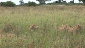 Sabana peligrosa salvaje Kenia de África del mamífero del león joven metrajes