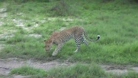 Sabana peligrosa salvaje Kenia de África del mamífero del leopardo almacen de metraje de vídeo