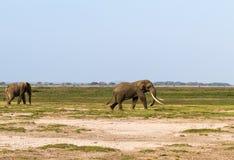 Sabana seca de Kenia Elefante solo África Fotos de archivo libres de regalías
