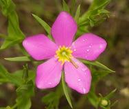 Sabatia campestris, łąk menchie lub Teksas gwiazda, zdjęcia stock