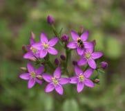 Sabatia campestris kwiat i pszczoła Zdjęcia Stock