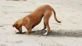 Sabbia di scavatura del cane stock footage
