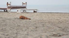 Sabbia di scavatura del cane archivi video