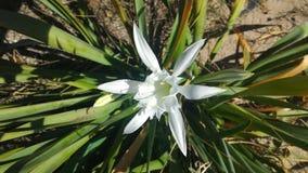 Sabbia Lily Alone immagini stock