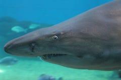 Sabbia Tiger Shark fotografie stock