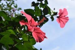 Sabdariffa del hibisco Imágenes de archivo libres de regalías