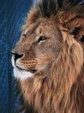 Sabedoria do leão perto da pilha azul Fotos de Stock Royalty Free