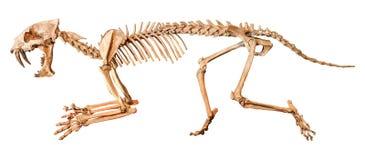 Sabel - tandat skelett för tigerHoplophoneus primaevus Isolerad bakgrund Arkivfoto