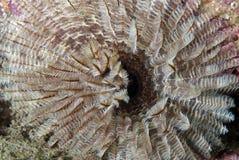 Sabella (overzeese worm) Royalty-vrije Stock Foto's