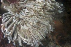 Sabella (overzeese worm) Royalty-vrije Stock Fotografie
