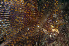 Sabella (overzeese worm) Stock Foto