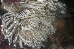 Sabella (sea worm) Royalty Free Stock Photography