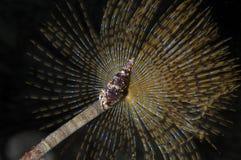 Sabella Spallanzanii sea worm Stock Photography