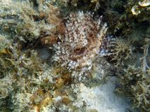 Sabellidae in the sea. Sabellidae in the tropical sea of Thailand Stock Images