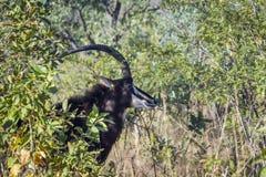 Sabelmarterantilope in het Nationale park van Kruger, Zuid-Afrika Stock Fotografie