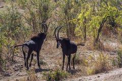 Sabelmarterantilope in het Nationale park van Kruger, Zuid-Afrika Royalty-vrije Stock Fotografie