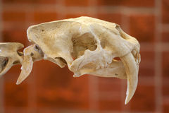 Saber Tooth Skull Royalty-vrije Stock Foto's