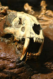 Saber Tooth Tiger Skull. A Replica of a saber tooth tiger skull  embedded in rock Stock Images