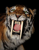 Saber-toothed tiger face. Isolated on a black background Stock Images