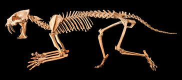Saber - toothed tiger  Hoplophoneus primaevus  skeleton . Isolated background.  Royalty Free Stock Photo