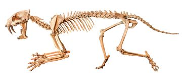 Saber - toothed tiger  Hoplophoneus primaevus  skeleton . Isolated background.  Stock Photo