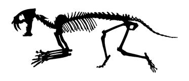Saber - toothed tiger  Hoplophoneus primaevus  skeleton . Silhouette vector . side view.  Stock Photo