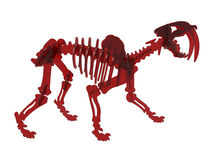 Saber-toothed tiger skeleton Stock Photos