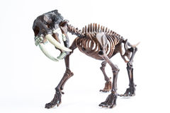 Saber-toothed tiger. Skeleton on white background Royalty Free Stock Photo