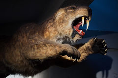 Saber-toothed tiger (Smilodon populator). Displayed as a life size model. Prehistoric animal Royalty Free Stock Photos