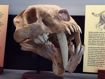 Saber-toothed tiger Royalty Free Stock Photo