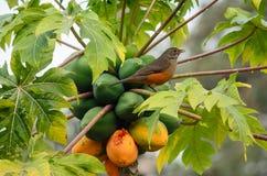Sabià ¡ - rufiventris Turdus laranjeira στοκ φωτογραφία με δικαίωμα ελεύθερης χρήσης
