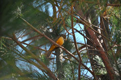 Sabia-laranjeira Vogel auf Baum Stockfoto