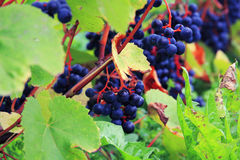 Sabile Wine Hill Royalty Free Stock Photos